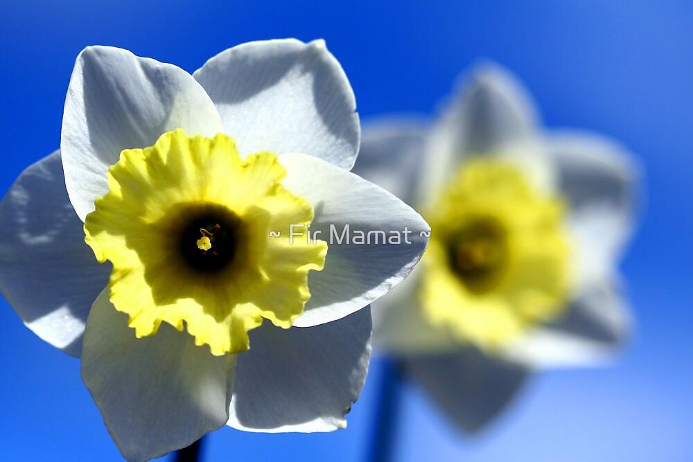 Daffodils by ~ Fir Mamat ~
