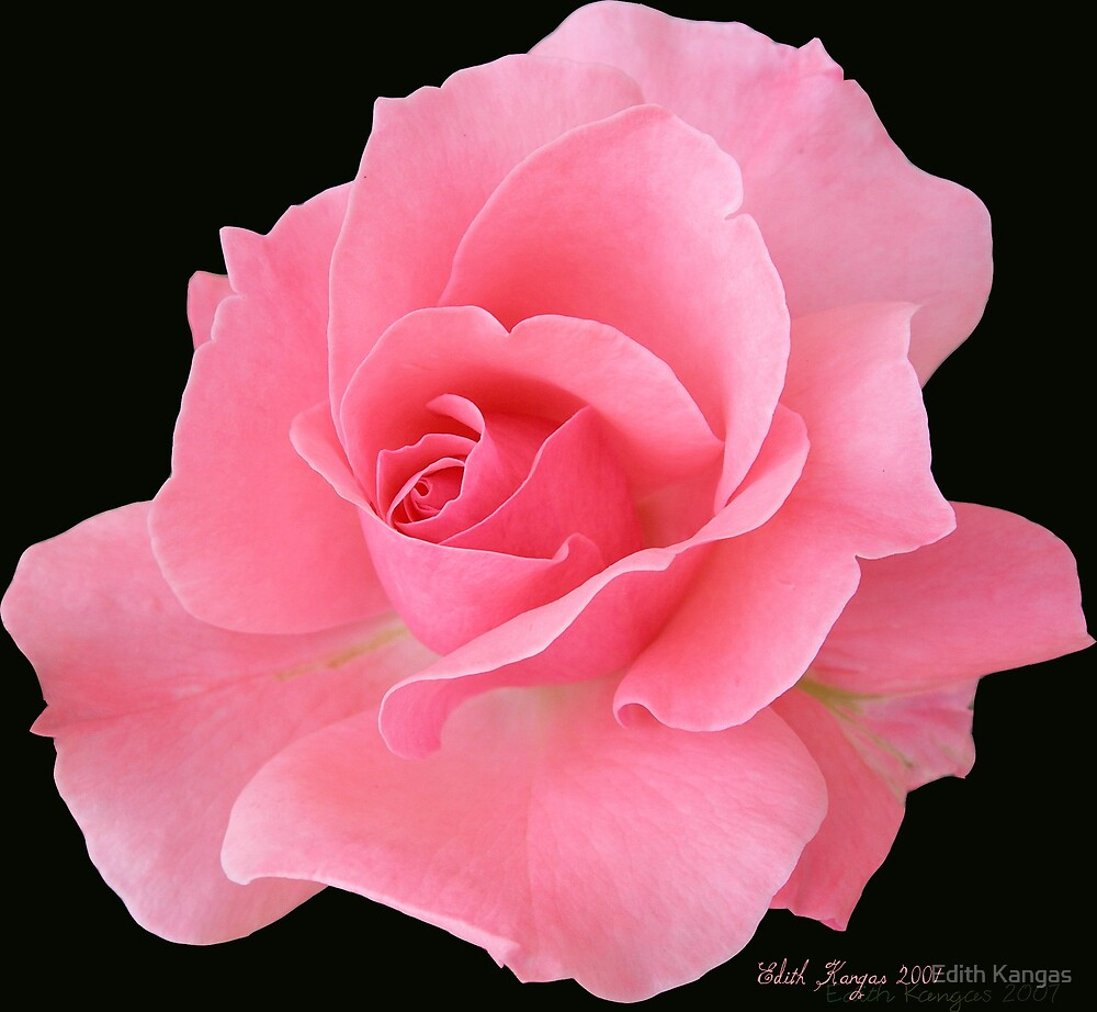 Pink Rose by Edith Kangas