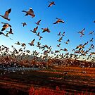 Fright Flight of the Snow Geese by FortPhoto