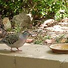 Bush Bronzewing showing off the pretty colours! Back Patio. by Rita Blom