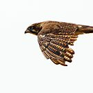 Brown Falcon by Wildpix