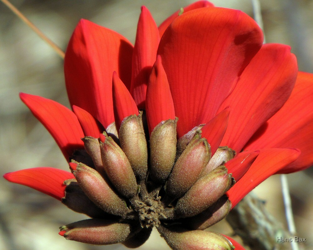 "Erythrina caffra ~ ""Coast Coral Tree"" by Hans Bax"