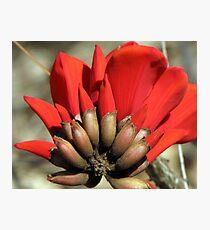 "Erythrina caffra ~ ""Coast Coral Tree"" Photographic Print"