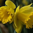 Daffodils... it's spring! by Poete100