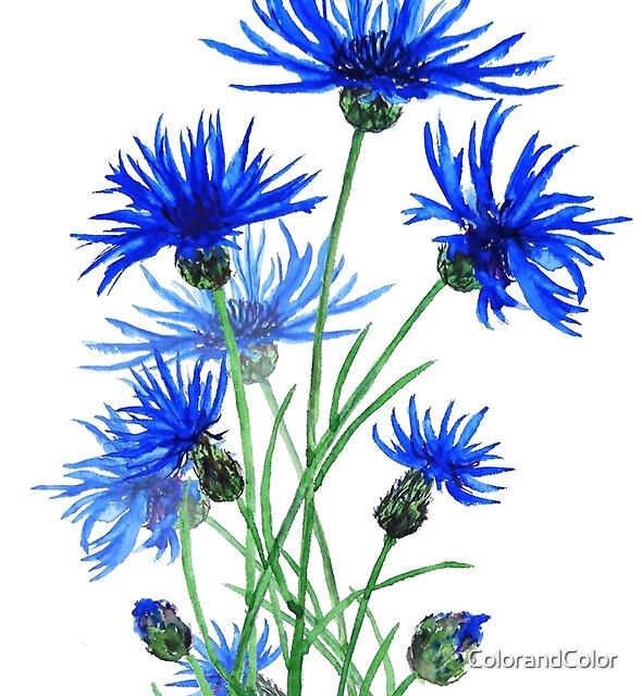 blaue Kornblumen Aquarell von ColorandColor
