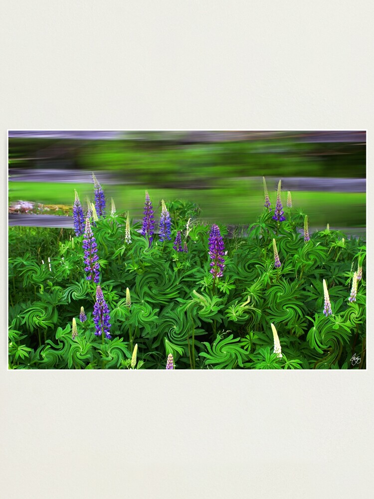 Alternate view of Wind in the Lupines Photographic Print