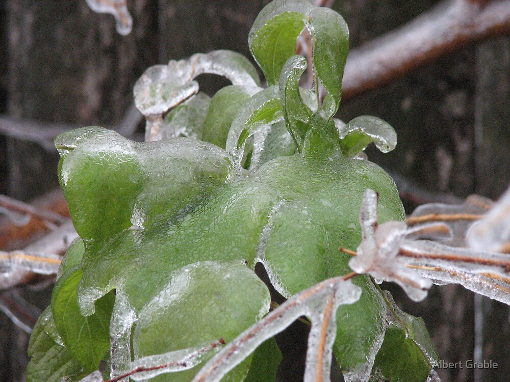 Iced Over Leaves 2 by Albert Grable