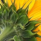 Sunflower by Hans Bax