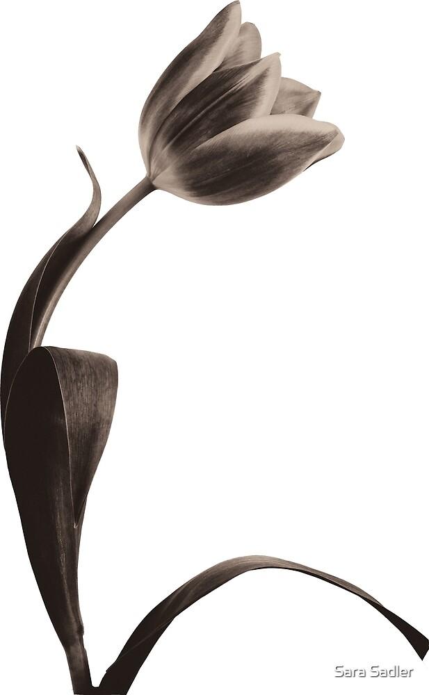 Antique Tulip by Sara Sadler