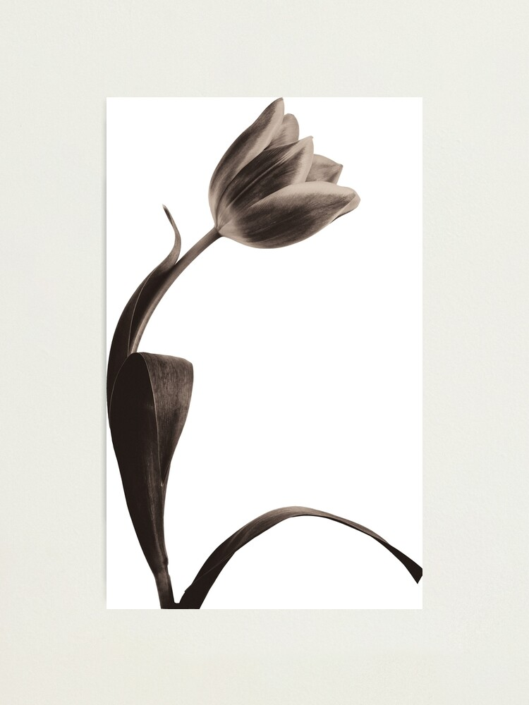 Alternate view of Antique Tulip Photographic Print