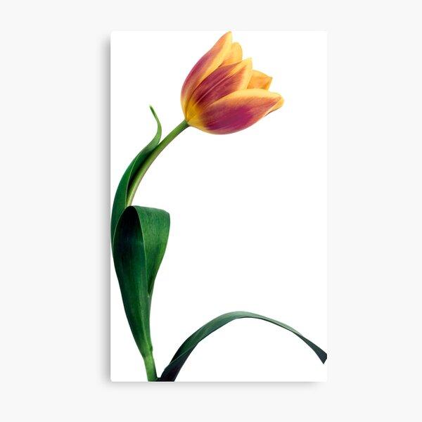 Natural Tulip flower Metal Print