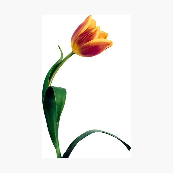 Natural Tulip flower Photographic Print