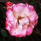Flowers by Roz McQuillan  by Roz McQuillan