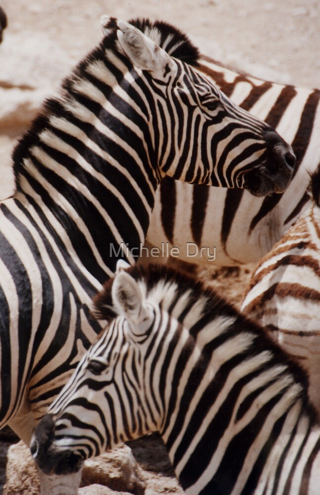 Zebras by Michelle Dry