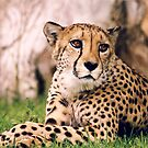 Cheetah by Michelle Dry