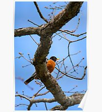 American Robin in Tree Poster