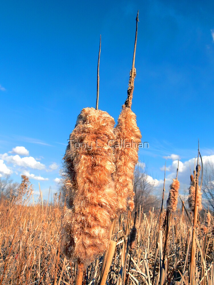 Cattails by Tony L. Callahan