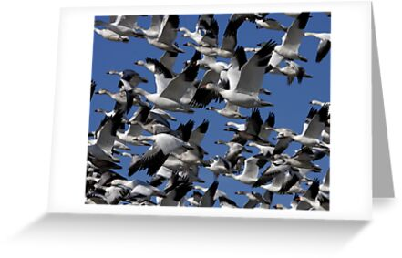 Snow Geese in flight by BeckyGregory