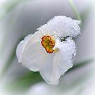 Icy Daffodil by Brian Bo Mei