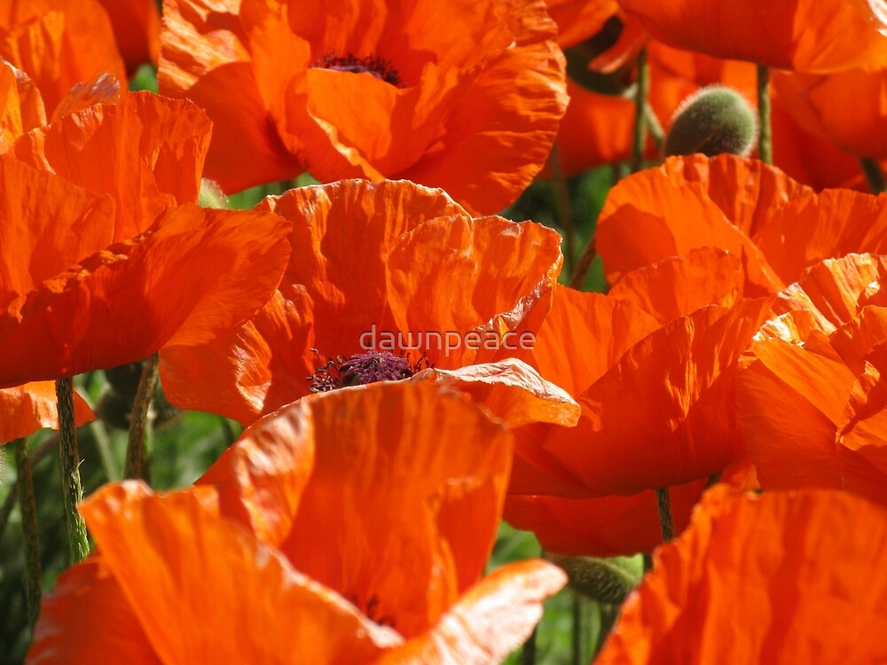 Poppies by dawnpeace