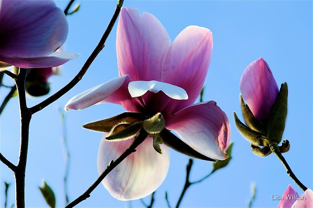 Magnolia Flower by Lisa Wilson