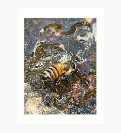 African Bee (Apis mellifera Scutellata) Art Print
