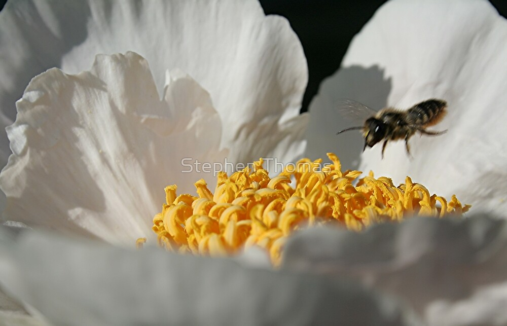 In Coming Bee by Stephen Thomas