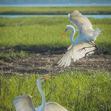Ardea Alba - Two Great Egrets In Dispute | Hampton Bays, New York by Sophie76