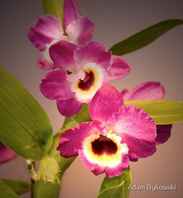 Nuance ist Phalaenopsis von Adam Bykowski