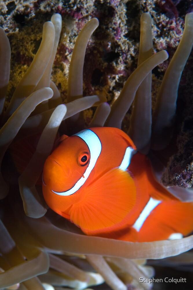 Clown fish by Stephen Colquitt