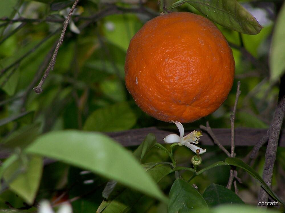 Orange tree.  by ccrcats