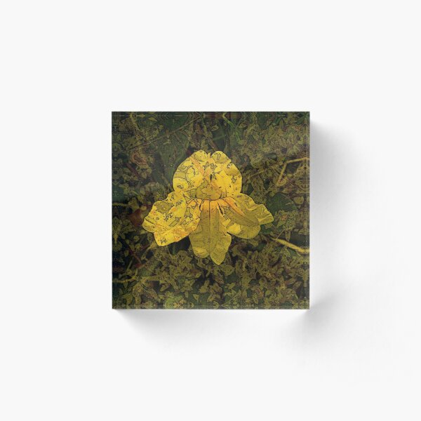Goodenia Flower on Moss Acrylic Block