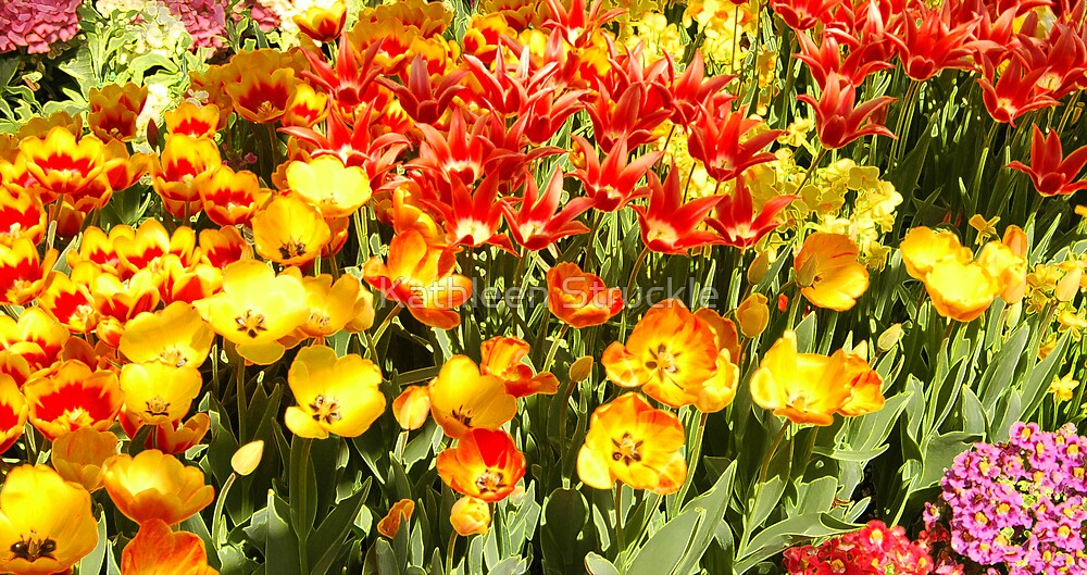 Array Of Tulips by Kathleen Struckle