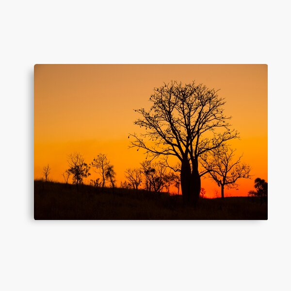Boab trees at sunset in the Kimberley, Western Australia Canvas Print