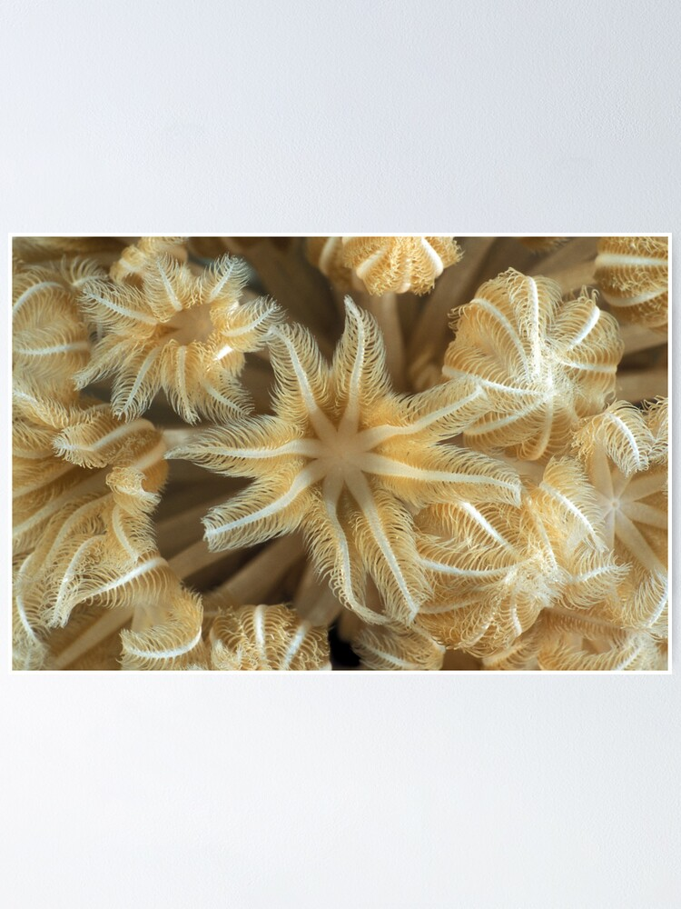 Alternate view of Soft coral polyps Poster