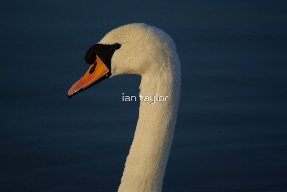 SWAN by ian taylor