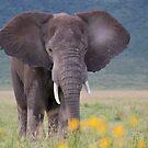 African Bush Elephant (Loxodonta africana) by Yair Karelic