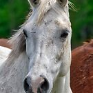 Portrait of a White Horse by TJ Baccari Photography