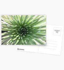 Precious Silversword Postcards