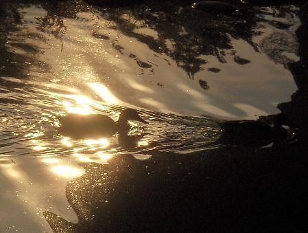 Beau Duck by Kenny Emerson