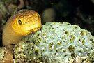 Olive sea snake by David Wachenfeld