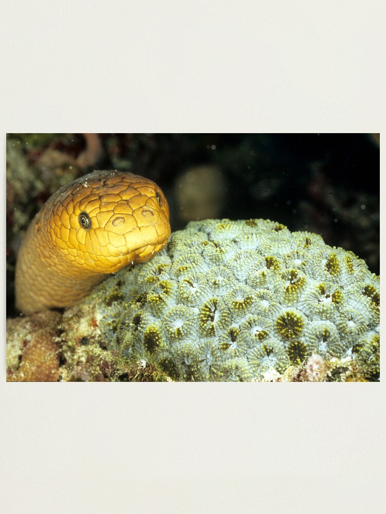 Alternate view of Olive sea snake Photographic Print