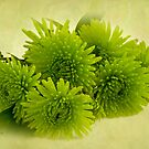 Green Spider Chrysanthemums by Sandra Foster