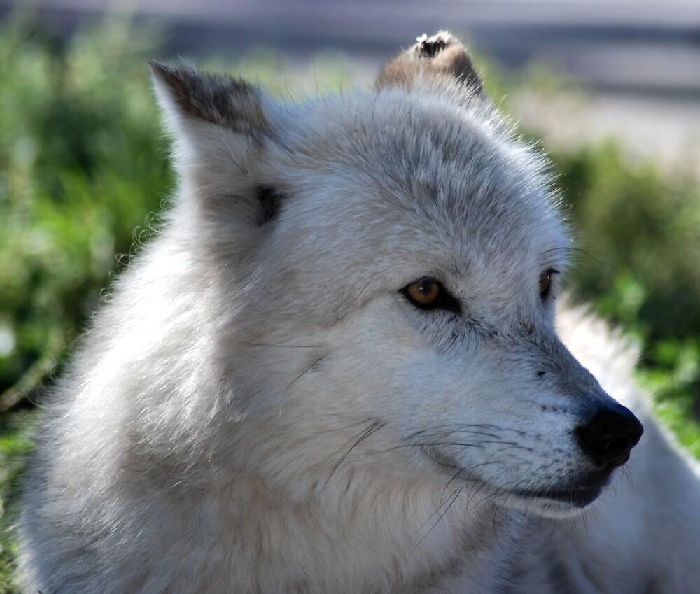 White Wolf by AnneS