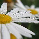 Daisy Dew Drops by wildflowers