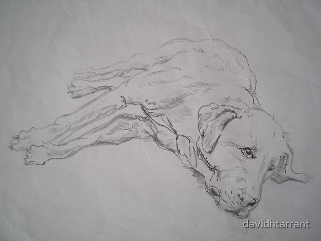 labradore by davidhtarrant