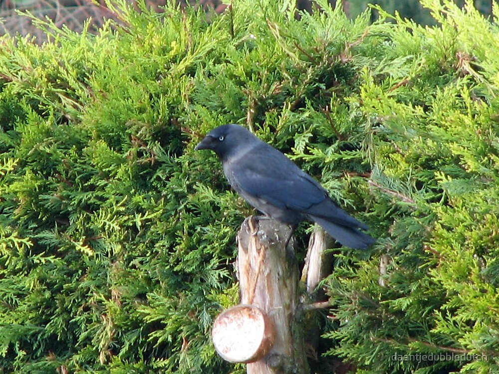 crow with blue eyes by daantjedubbledutch