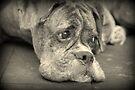 Luthiens Porträt in Monochrom - Boxer Dog Series von Evita
