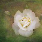 The delicate harmony of a rose by Celeste Mookherjee