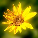 Yellow Daisy (1736) by Barry L White